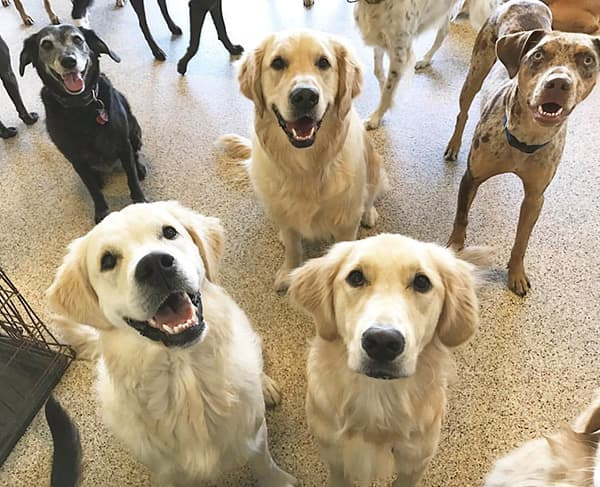 A bunch of dogs looking at the camera