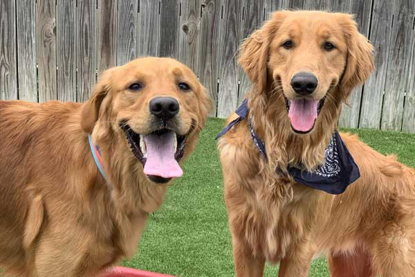 Two smiling Golden Retrievers