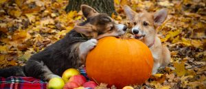 two puppies playing with pumpkin